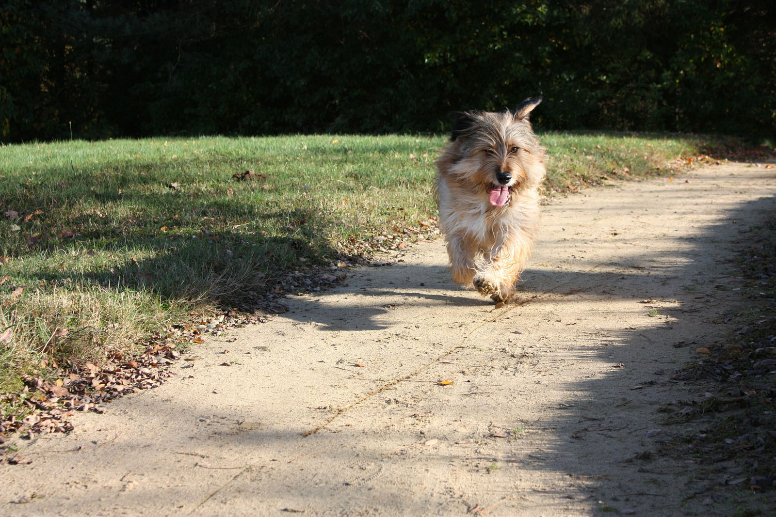 terrier-dog-animal-run-race
